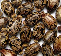 Castor Oil Plant Seeds