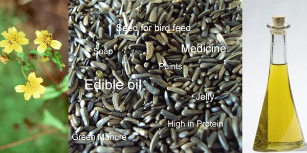 niger seeds and niger seed oil