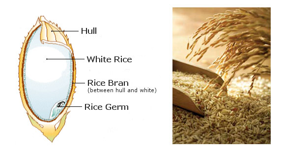 rice bran and its structure